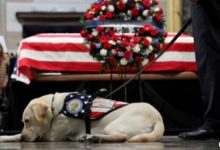 صورة كلب الرئيس الراحل بوش الأب يبدأ عملا جديدا