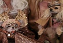 صورة بالصور.. شاهد مشاركات عرض أزياء الحيوانات في نيويورك