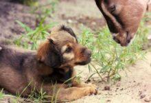 صورة سباق بين عنزة وكلب على منصب عمدة مدينة أمريكية