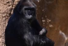 صورة فيديو.. حديقة حيوانات لوس أنجلوس تستقبل أول طفل غوريلا خلال أكثر من عقدين