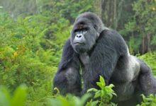 صورة مقتل 4 من الغوريلا المهددة بالانقراض في أوغندا بسبب صاعقة برق
