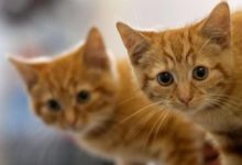 صورة الصحة العالمية تختبر دواء لمرض يصيب القطط : قد يعالج كورونا