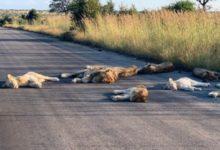 صورة أسود تحتل طريق بجنوب أفريقيا بسبب إجراءات الإغلاق خوفا من كورونا (صور)