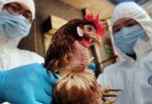 صورة أمريكا تعلن تسجيل إصابة بفيروس إنفلونزا الطيور لأول مرة منذ عام 2017