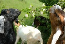 صورة دراسة تكشف: الماعز تفهم لغة البشر
