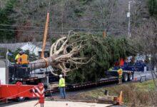 صورة بالصور.. شجرة الكريسماس العملاقة في طريقها إلى مانهاتن لنصبها في روكفلر سنتر
