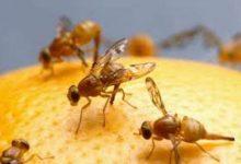 صورة ابتكار واعد للبشر.. تطوير علاج قد يطيل عمر ذبابة الفاكهة الافتراضي بنسبة 9% ويمنع ألزهايمر
